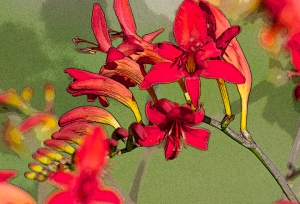 "crocosmia ""posterized"""