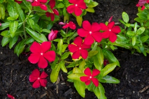 "Catharanthus roseus ""cora red"""